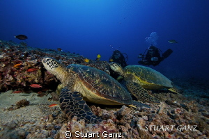 Two turtle and two divers, Oahu Hawaii. by Stuart Ganz 